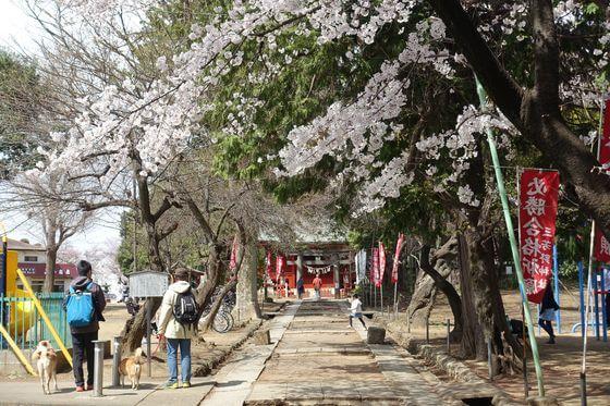 三芳野神社 桜