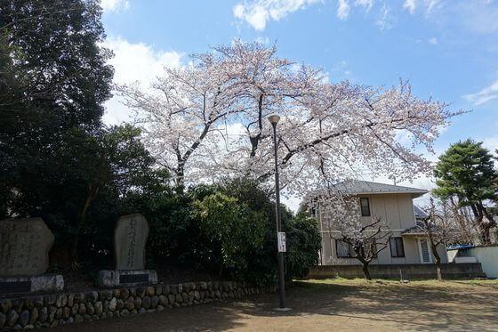 三芳野神社 川越 桜