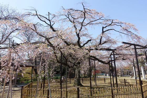 妙行寺 しだれ桜