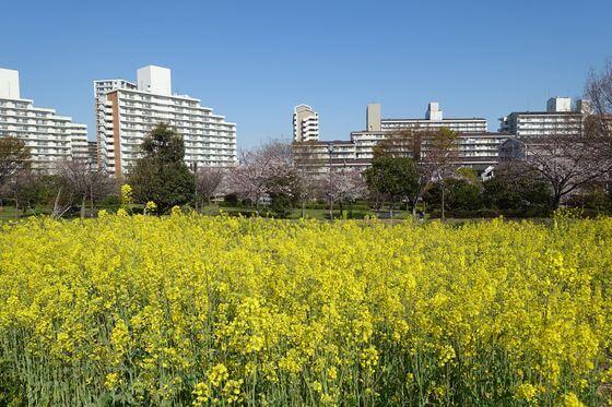 大島小松川ガーデン 菜の花