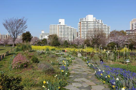 大島小松川公園 菜の花