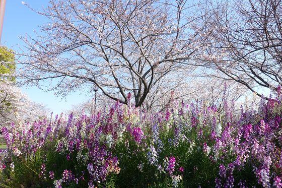 大島小松川公園 自由広場 花見