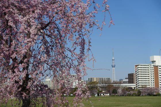 大島小松川公園 枝垂れ桜