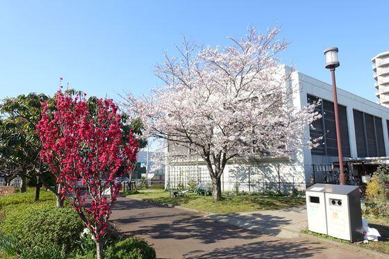 大島小松川公園 花桃