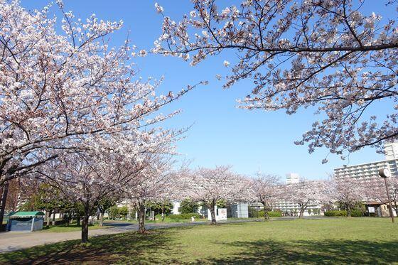 大島小松川公園 スポーツ広場 桜