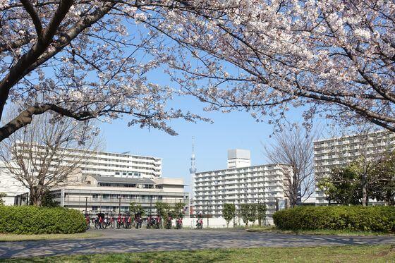 大島小松川公園 東京スカイツリー 桜