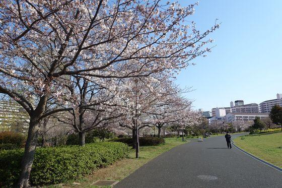 大島小松川公園 自由広場 桜