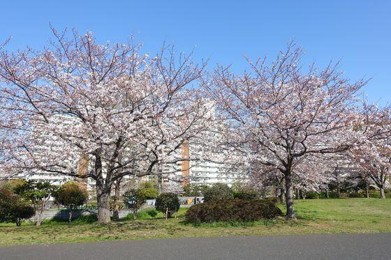 大島小松川公園 お花見