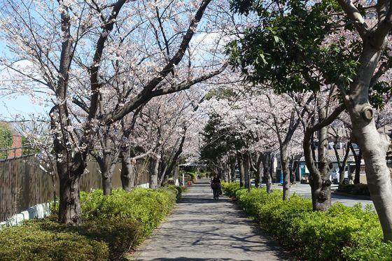 総合レクリエーション公園 桜 見頃