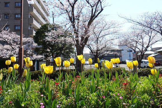 総合レクリエーション公園フラワーガーデン 桜