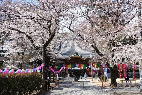蓮馨寺 桜