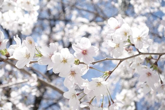 蓮馨寺 桜 開花状況