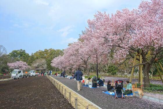 芦花公園 桜