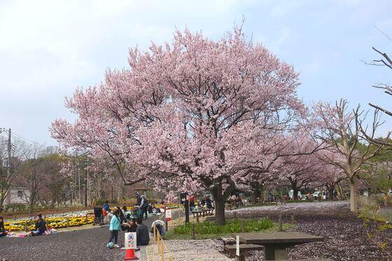 蘆花恒春園 桜 見頃