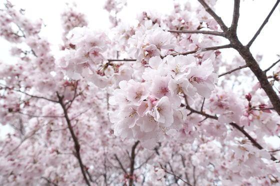 蘆花恒春園 桜 開花状況
