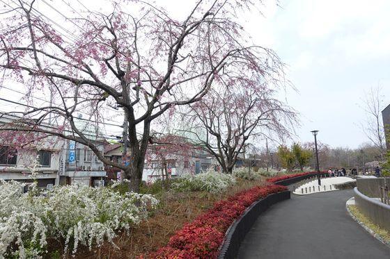 蘆花恒春園 八重紅枝垂桜