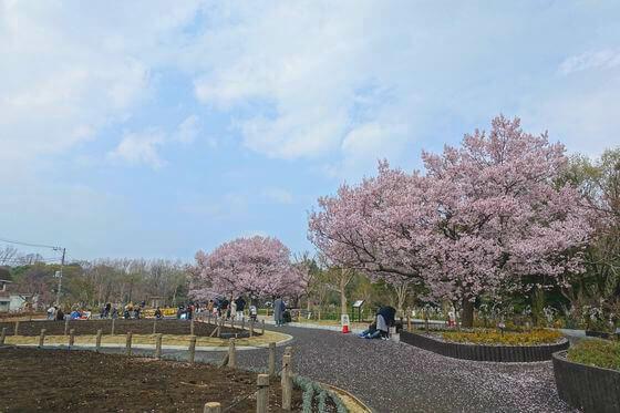 世田谷区 蘆花恒春園 桜