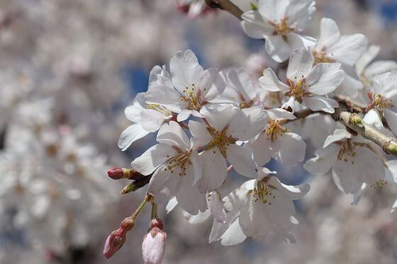 慈眼寺 埼玉 枝垂れ桜