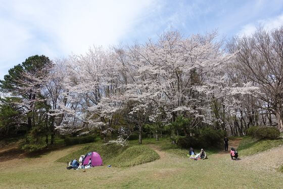 佐倉城址公園 桜
