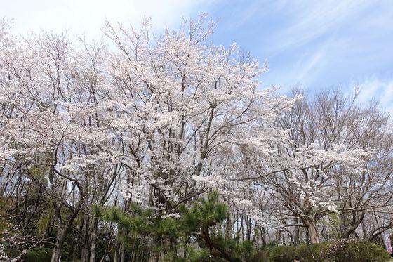 佐倉市 桜