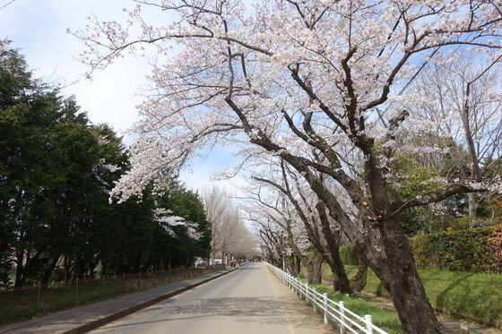 佐倉城址公園 桜並木