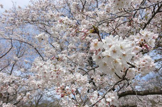 佐倉城址公園 桜 開花状況