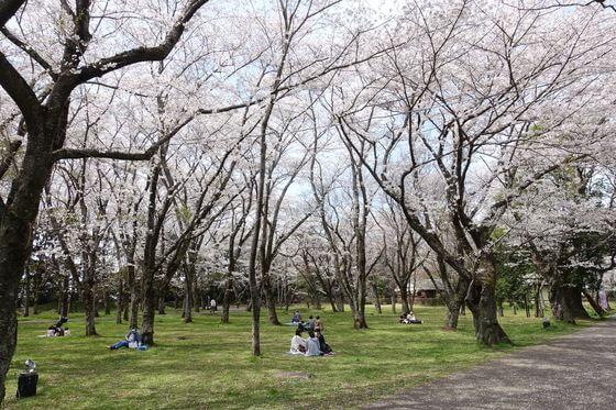 佐倉城址公園 三の門跡 桜