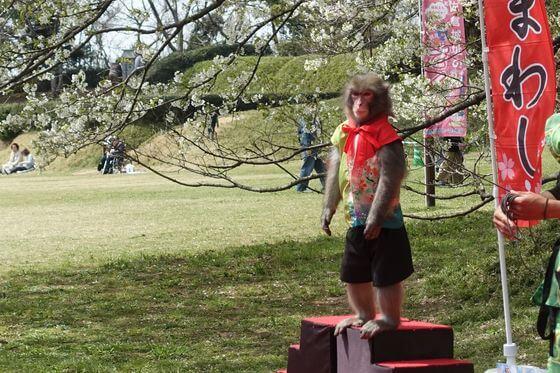 佐倉城址公園 桜祭り 猿回し