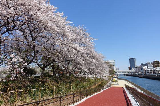 横十間川 桜