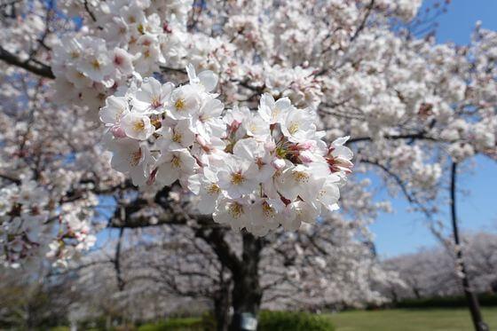 猿江恩賜公園 桜 開花状況
