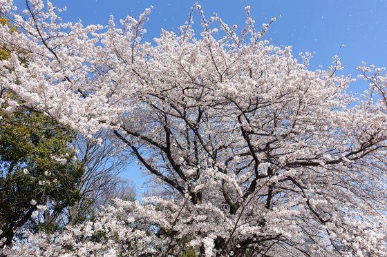 猿江恩賜公園 お花見