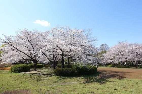 猿江恩賜公園 桜 見頃