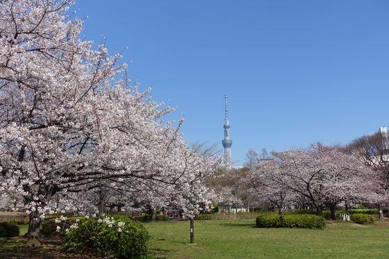 猿江恩賜公園 東京スカイツリー 桜