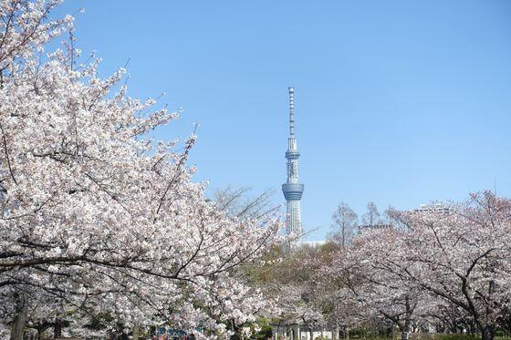 猿江恩賜公園 桜