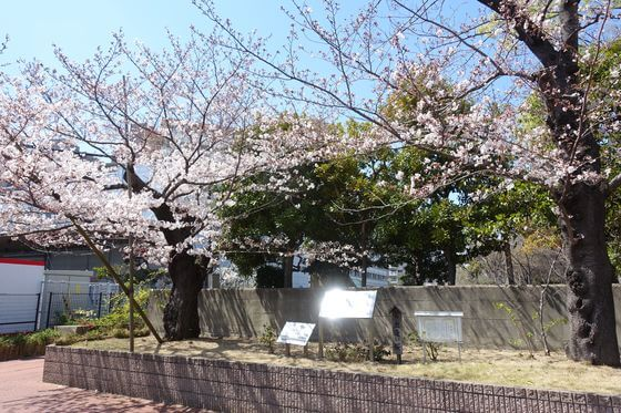 仙台堀川公園 出逢い桜