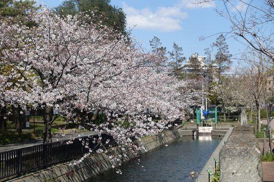 仙台堀川公園 花見