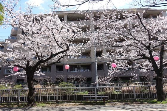 仙台堀川公園 お花見