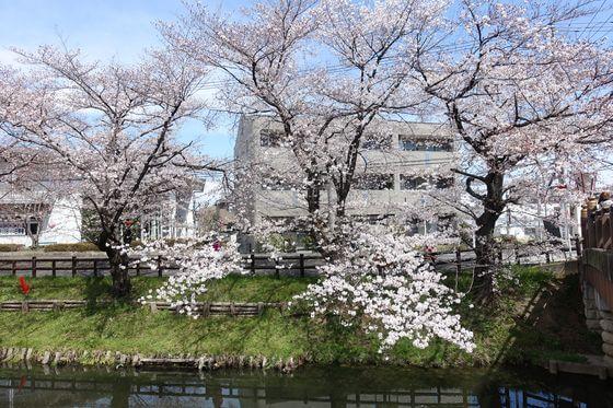 新河岸川 桜 見頃