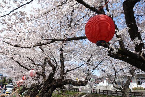 川越氷川神社 桜