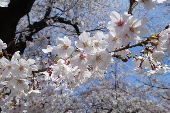 川越氷川神社 桜並木