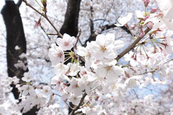新河岸川 桜 開花状況