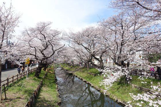 新河岸川 氷川橋 桜
