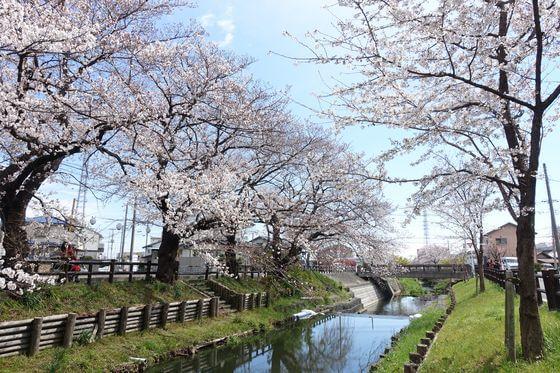 川越 誉桜