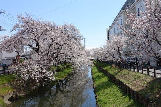 新河岸川 桜並木