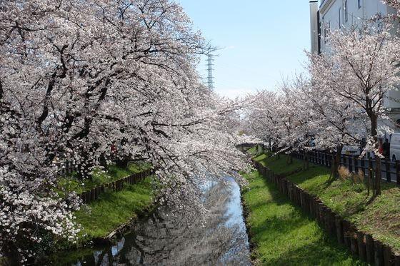 新河岸川 桜