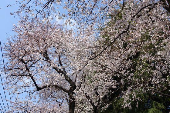 ウルトラマン商店街 桜