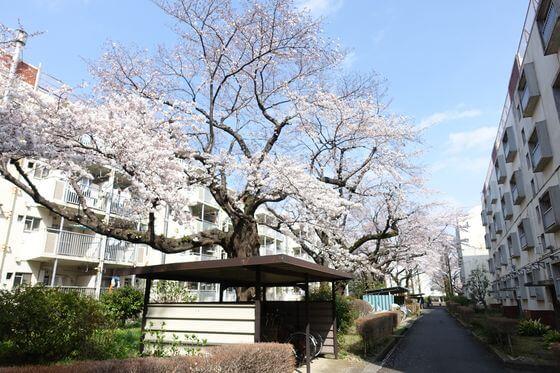 祖師谷団地 桜