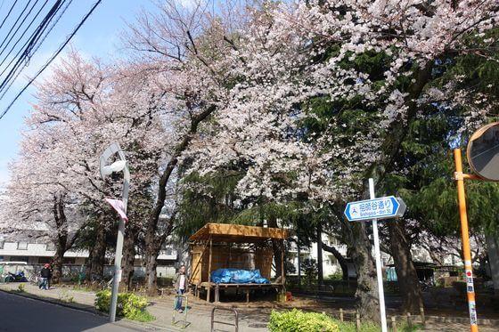 祖師谷ふれあい遊歩道 桜 見頃
