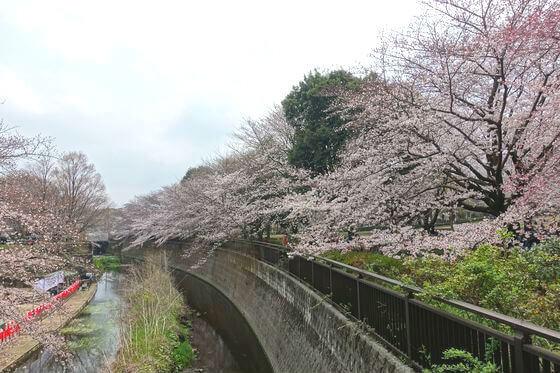 桜 祖師谷公園