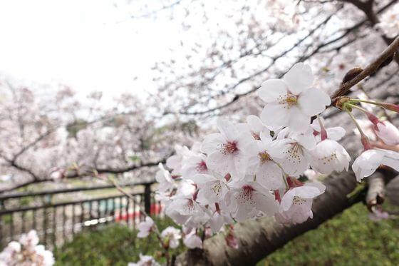祖師谷公園 桜 開花状況
